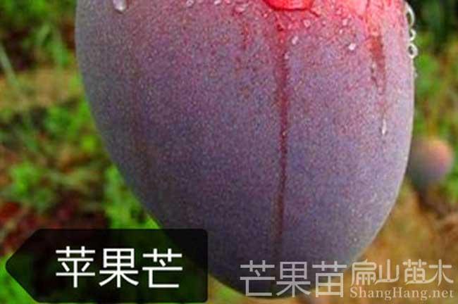 漳州芒果苗栽培