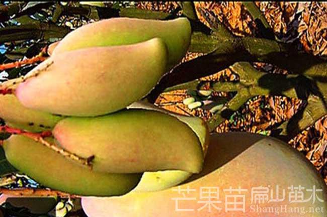 福建芒果苗种植