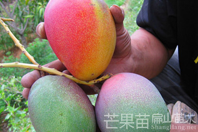 龙岩芒果苗种植