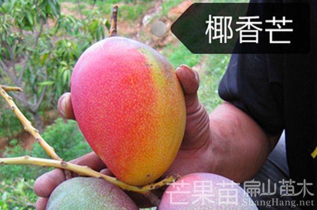 福建大型芒果种植基地