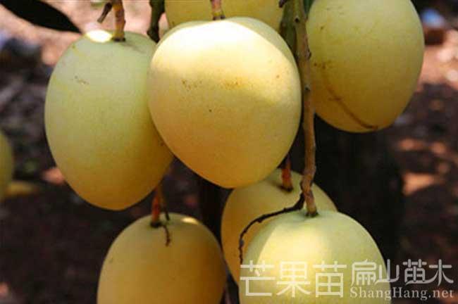 广西芒果种植