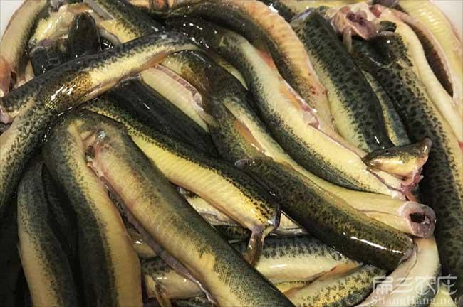 湖北泥鳅种苗