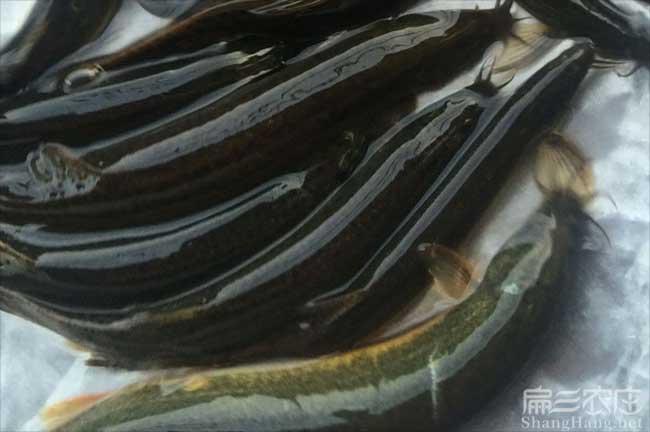 江西泥鳅种苗