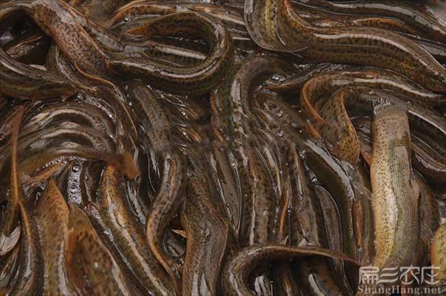 宁德泥鳅种苗价格