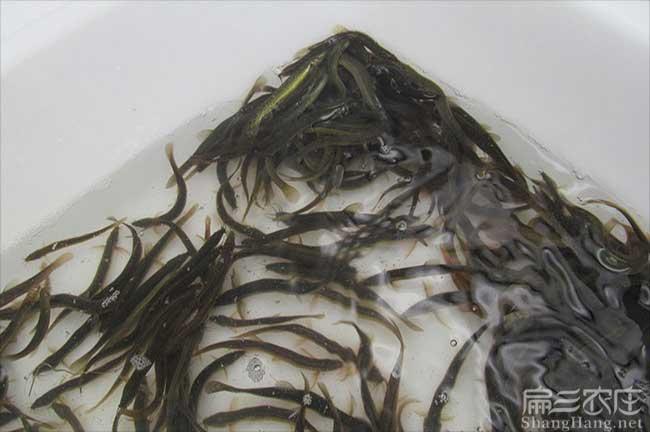 福建泥鳅种苗批发