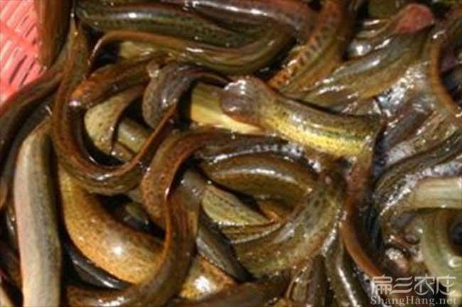 漳州泥鳅种苗