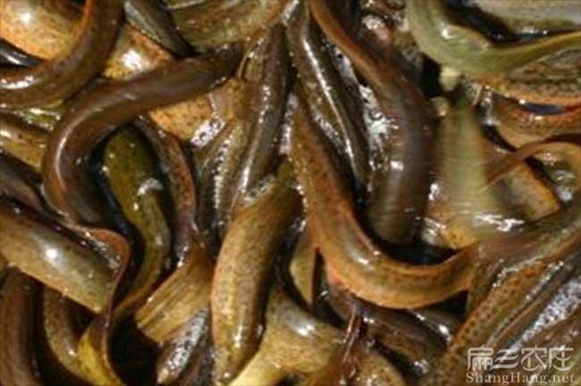 九江泥鳅种苗