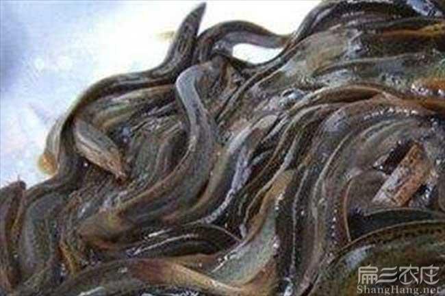 贵州泥鳅养殖