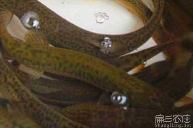 湖北泥鳅养殖技术