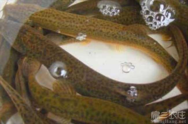 广西黄鳝养殖