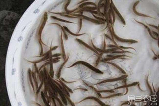 南平泥鳅种苗价格