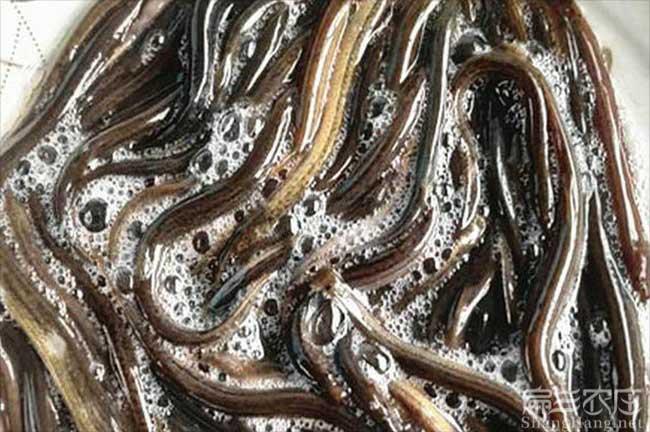 浙江泥鳅养殖