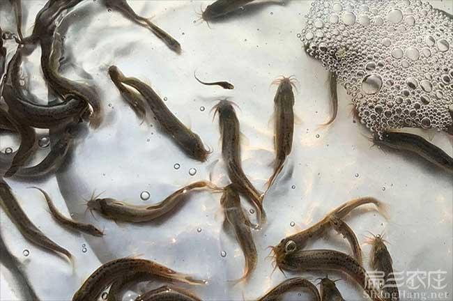 云南泥鳅种苗