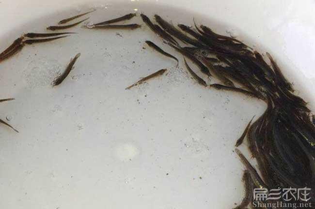 宜春泥鳅种苗