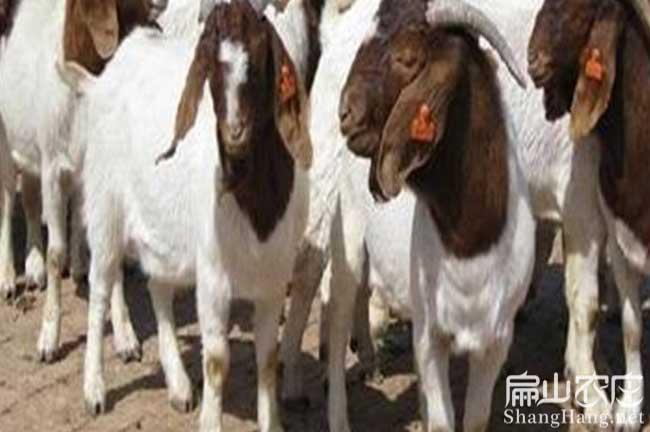 福建8500只羊