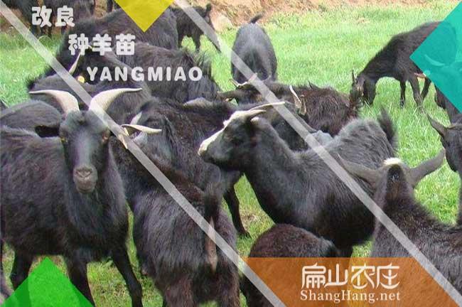 龙岩黑山羊种苗