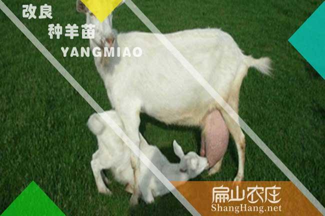 福建白山羊种苗