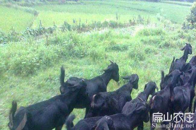 长汀山羊养殖基地