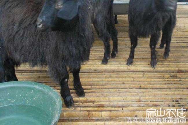 上杭最大的山羊养殖