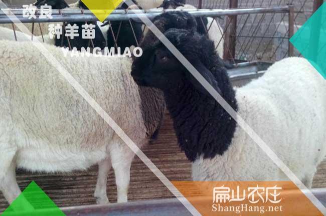 福建羊种批发