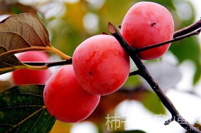 三明柿子苗