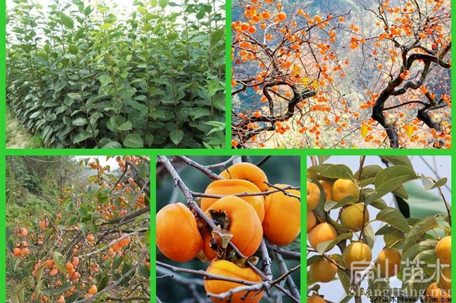 福建柿子种植