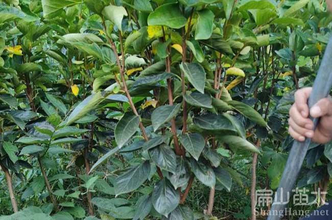 福建柿子苗栽培