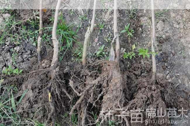 福州柿子苗种植