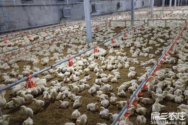 福建土鸡孵化
