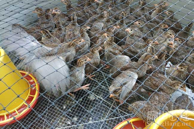 龙岩珍珠鸡苗孵化