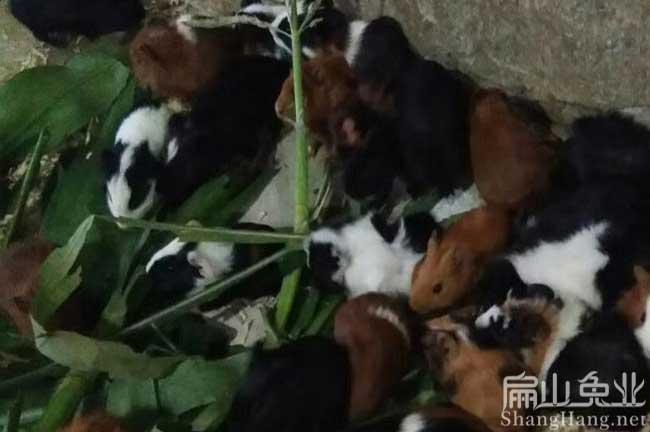 福建彩豚养殖