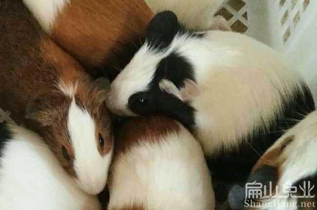 广东豚鼠养殖