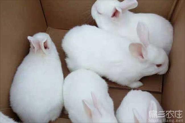 武平白兔养殖