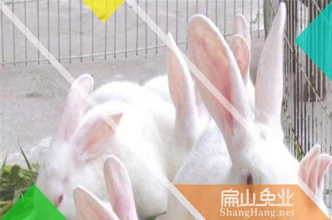 杭州肉兔批发