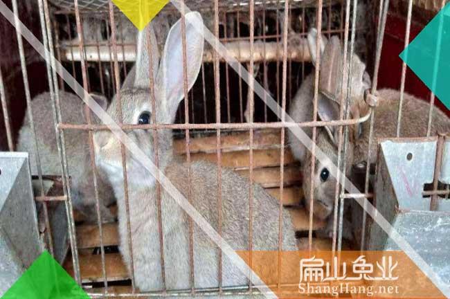 台州肉兔批发