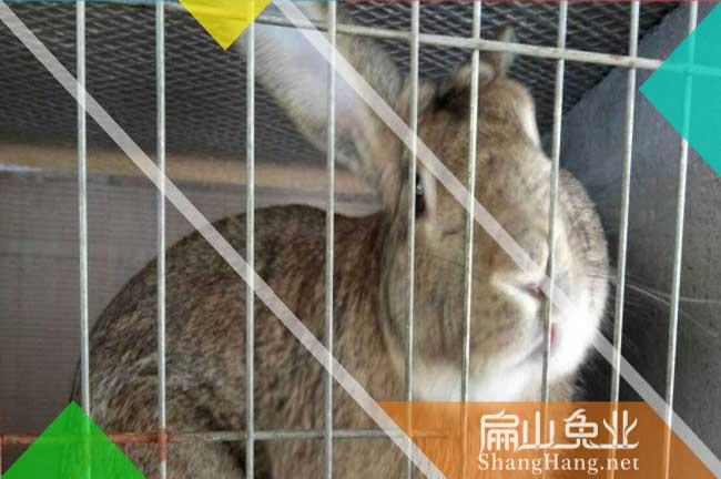 绍兴比利时种兔