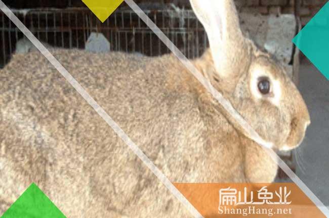 舟山比利时种兔批发
