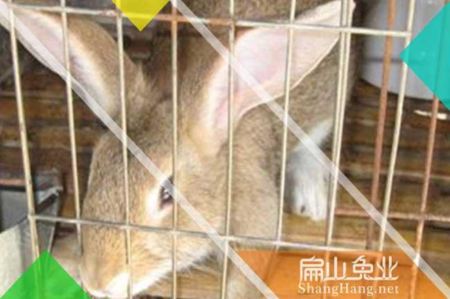 丽水巨型兔子养殖