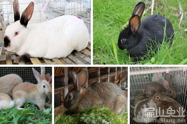 最好的种兔品种