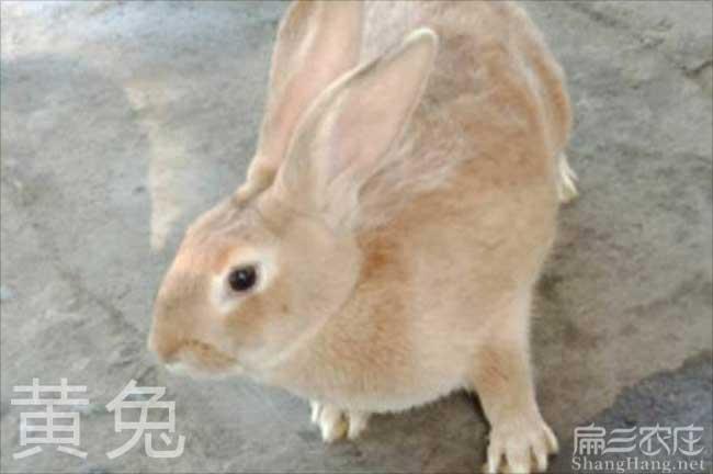 黄毛兔养殖前景