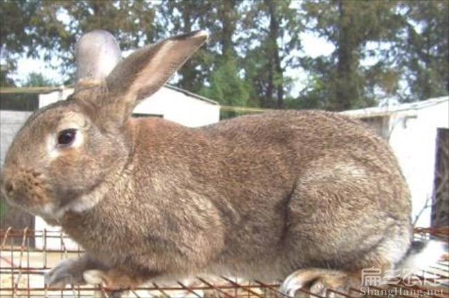 黄毛兔批发