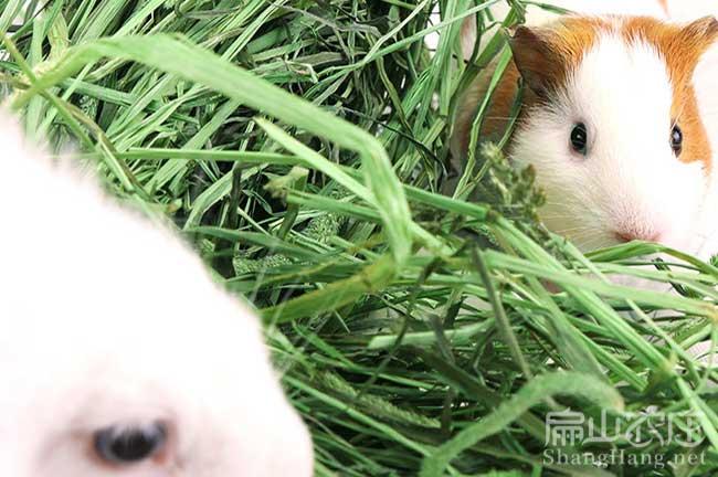 福建草兔养殖