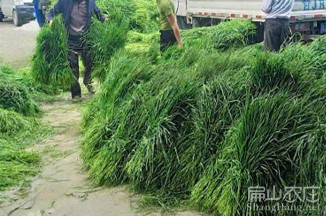 广东兔草种子批发