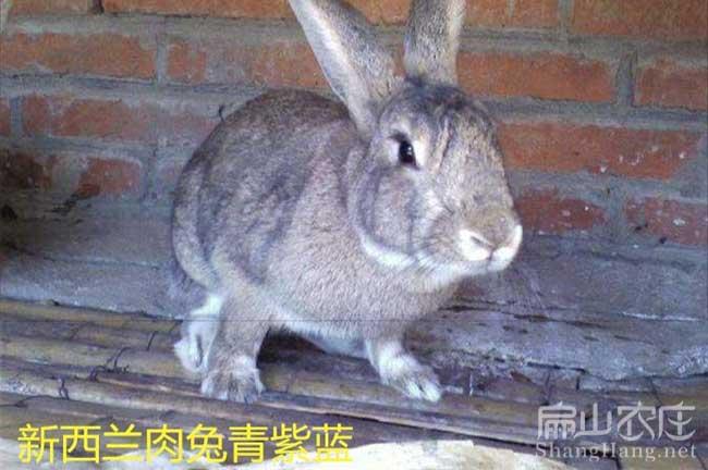 南平肉兔种苗