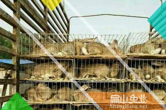 景德镇种兔