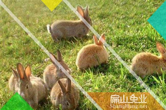 河源黄毛兔子批发
