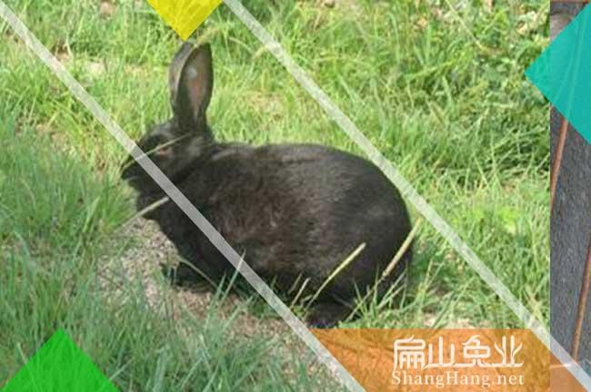 福建乌兔种苗