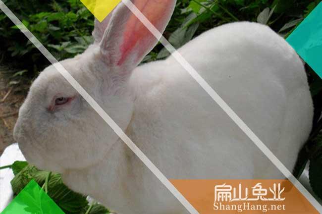 河源伊拉兔种苗
