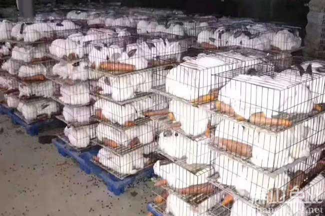 福建肉兔养殖