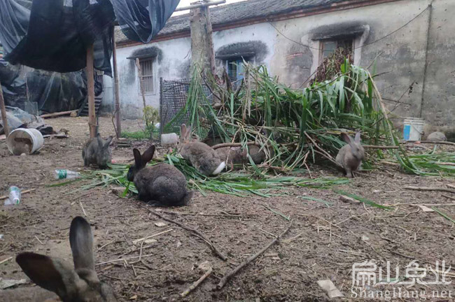 连城散养兔子